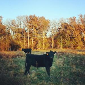 Dolly in November 2013, in the pasture, still not far from her adoptive mother, Stan, in the background.